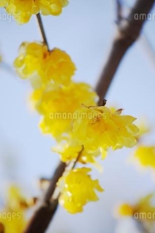 可憐に咲く蝋梅の花の写真素材 [FYI01813803]