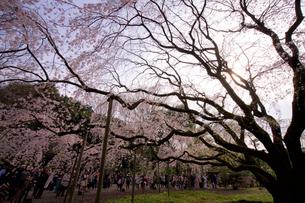 六義園の枝垂れ桜の写真素材 [FYI01813816]