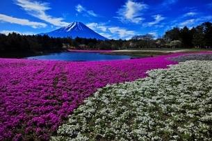 満開の芝桜と富士山の写真素材 [FYI01813841]