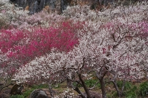 満開に咲く湯河原梅林の写真素材 [FYI01813849]