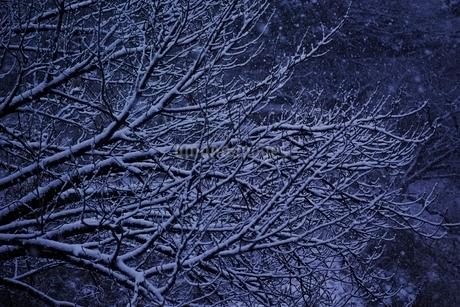 雪が積もった桜の枝の写真素材 [FYI01813879]