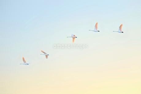 一列になって飛ぶ白鳥の写真素材 [FYI01813895]