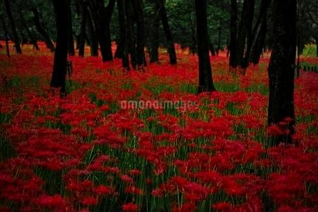 満開に咲く巾着田の彼岸花の写真素材 [FYI01813915]
