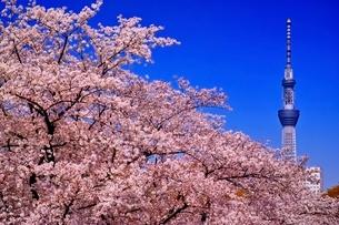 満開の桜と東京スカイツリーの写真素材 [FYI01813927]