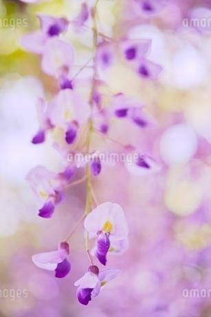 フジの花の写真素材 [FYI01813955]