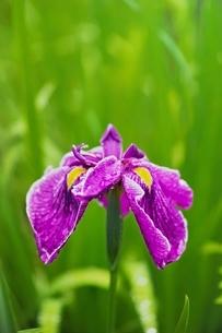雨に濡れたハナショウブの写真素材 [FYI01814013]