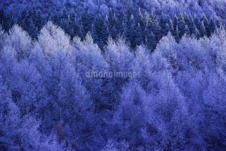 霧氷のついたカラマツ林の写真素材 [FYI01814022]