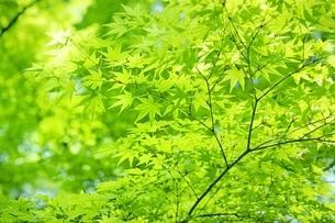 新緑のモミジの写真素材 [FYI01814067]