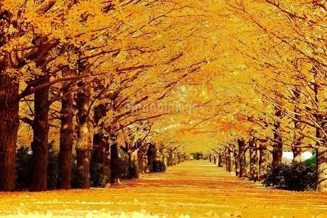 黄色の絨毯ができた銀杏並木の写真素材 [FYI01814073]