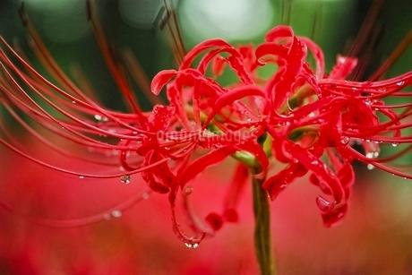 満開に咲く彼岸花の写真素材 [FYI01814075]