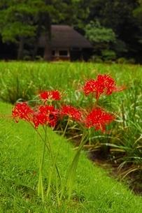 彼岸花咲く小石川後楽園の写真素材 [FYI01814084]