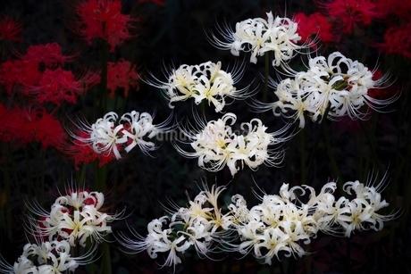 しっとりと咲く彼岸花の写真素材 [FYI01814119]