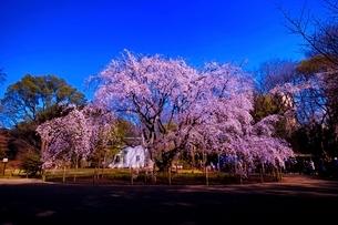 満開に咲く六義園のシダレザクラの写真素材 [FYI01814131]