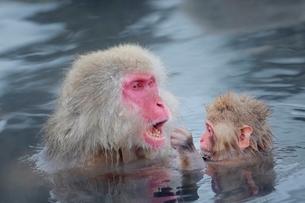 温泉につかるニホンザルの写真素材 [FYI01814153]