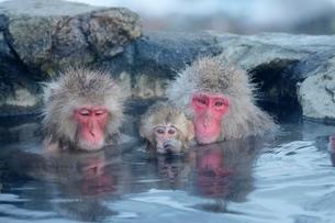 温泉につかるニホンザルの写真素材 [FYI01814155]