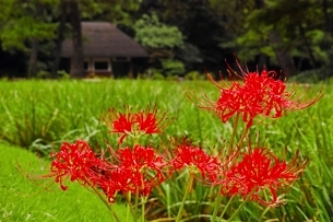 彼岸花咲く小石川後楽園の写真素材 [FYI01814229]