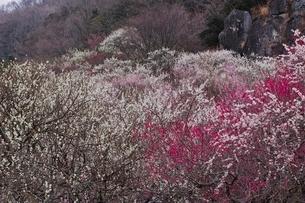 満開に咲く湯河原梅林の写真素材 [FYI01814240]