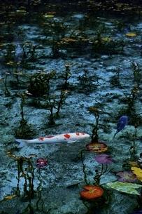 ニシキゴイの泳ぐモネの池の写真素材 [FYI01814263]
