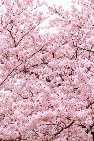 満開の桜の写真素材 [FYI01814281]