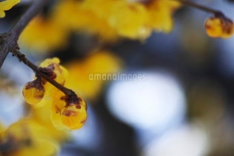 蝋梅のつぼみの写真素材 [FYI01814303]