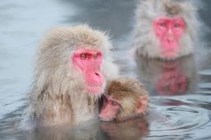 温泉に入る親子猿の写真素材 [FYI01814317]