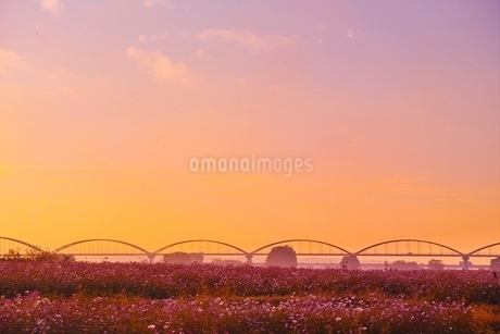 吹上コスモス畑夕景の写真素材 [FYI01814322]