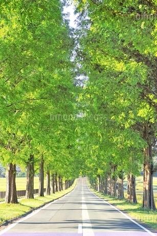 新緑のメタセコイヤ並木の写真素材 [FYI01814325]