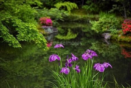 花菖蒲の咲く日本庭園の写真素材 [FYI01814326]
