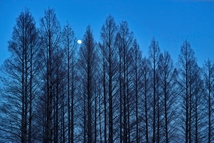 満月の浮かぶ針葉樹の森の写真素材 [FYI01814338]
