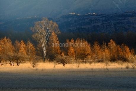 秋の小田代原の貴婦人の木の写真素材 [FYI01814360]