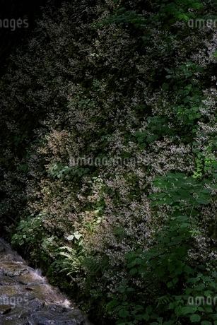 満開のユキノシタの写真素材 [FYI01814389]