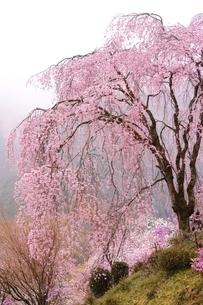 しっとりと雨に濡れる枝垂桜の写真素材 [FYI01814395]