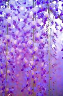 満開のフジの花の写真素材 [FYI01814430]