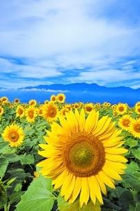 八ヶ岳とヒマワリ畑の写真素材 [FYI01814454]