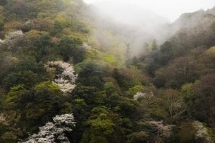 朝霧でかすむ嵐山の桜の写真素材 [FYI01814476]