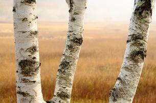 秋枯れの原野とシラカバの幹の写真素材 [FYI01814481]