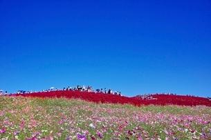 おおぜいの観光客が訪れる秋の国営ひたち海浜公園の写真素材 [FYI01814485]