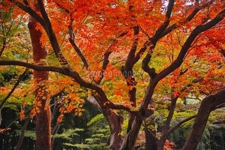 美しく紅葉した殿ヶ谷戸庭園の写真素材 [FYI01814507]