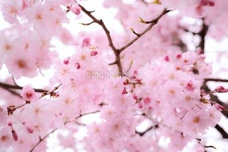 満開の桜の写真素材 [FYI01814512]