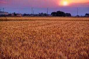 たわわに実った麦畑の写真素材 [FYI01814524]