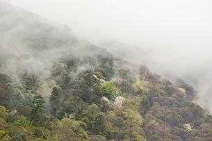 朝霧でかすむ嵐山の桜の写真素材 [FYI01814694]