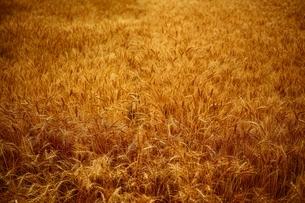 収穫前にたわわに実った麦畑の写真素材 [FYI01814710]