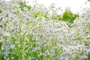 シオンの花とアオスジアゲハの写真素材 [FYI01814712]