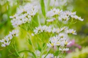 可憐に咲くシオンの花の写真素材 [FYI01814740]