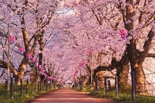権現堂桜堤の桜のトンネルの写真素材 [FYI01814830]