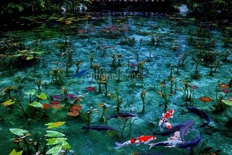ニシキゴイの泳ぐモネの池の写真素材 [FYI01814850]