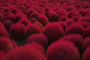 赤く色づく一面のコキア紅葉の写真素材 [FYI01814884]