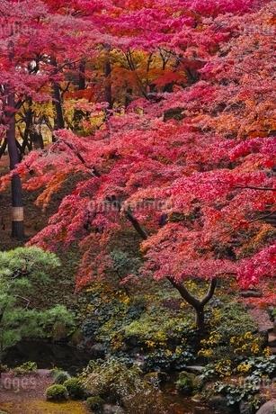美しく紅葉した殿ヶ谷戸庭園の写真素材 [FYI01814898]
