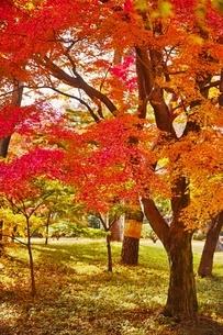 美しく紅葉した殿ヶ谷戸庭園の写真素材 [FYI01814955]