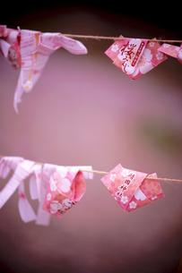 桜みくじの写真素材 [FYI01815047]
